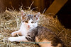 Gray and White Kitten in Hay Manger, Jackson County, Iowa