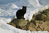 Black Cat in Winter, Green Lake County, Wisconsin