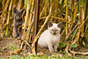 Kitties in the Cornfield, Chickasaw County, Iowa