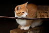 Barn Cat in Silo, Grundy County, Iowa