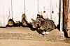 Cats Under Barn Door, Stephenson County, Illinois