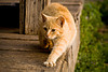 Orange Tabby Cat at Penn's Store, Casey County, Kentucky