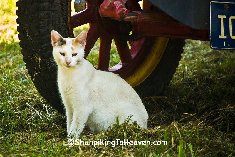 White Cat by Old Truck Tire, Jackson County, Iowa