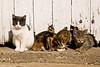 Cats by Barn Door, Stephenson County, Illinois