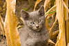 Kitty in the Cornfield, Chickasaw County, Iowa