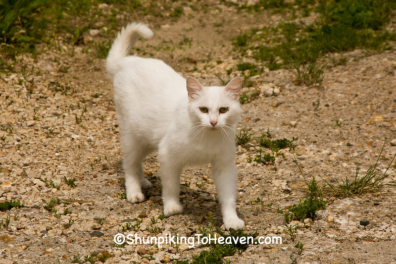 Roaming White Cat, Dubuque County, Iowa