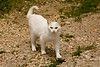 Roaming White Cat, Dubuque County, Iowa