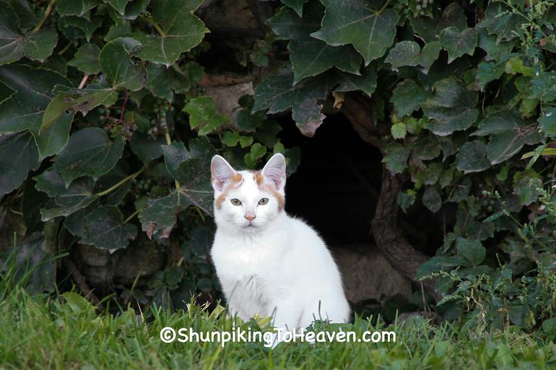 Farm Cat, Jackson County, Iowa