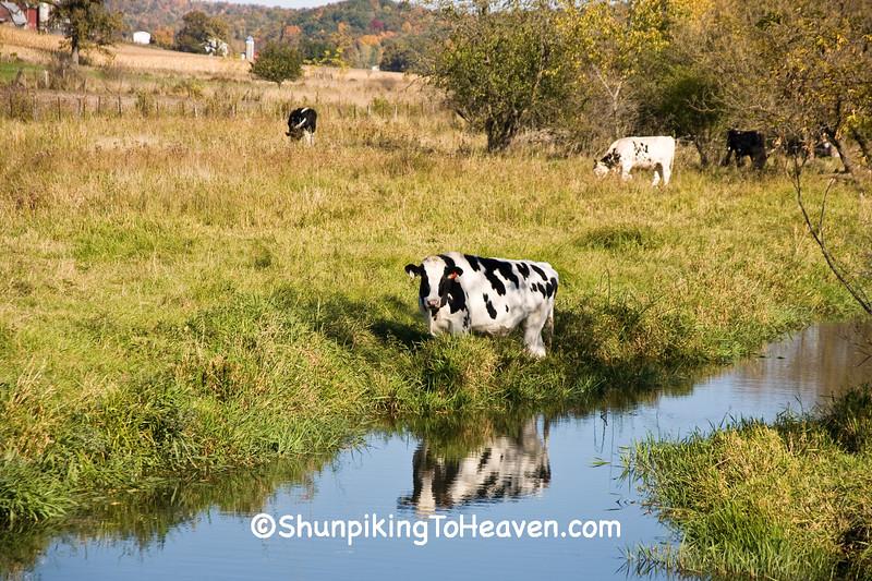 Cow in Pasture, Vernon County, Wisconsin