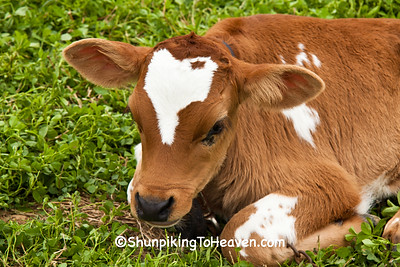 Guernsey Calf, 2015 Farm Art DTour, Sauk County, Wisconsin