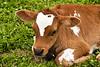 Guernsey Calf, Sauk County, Wisconsin