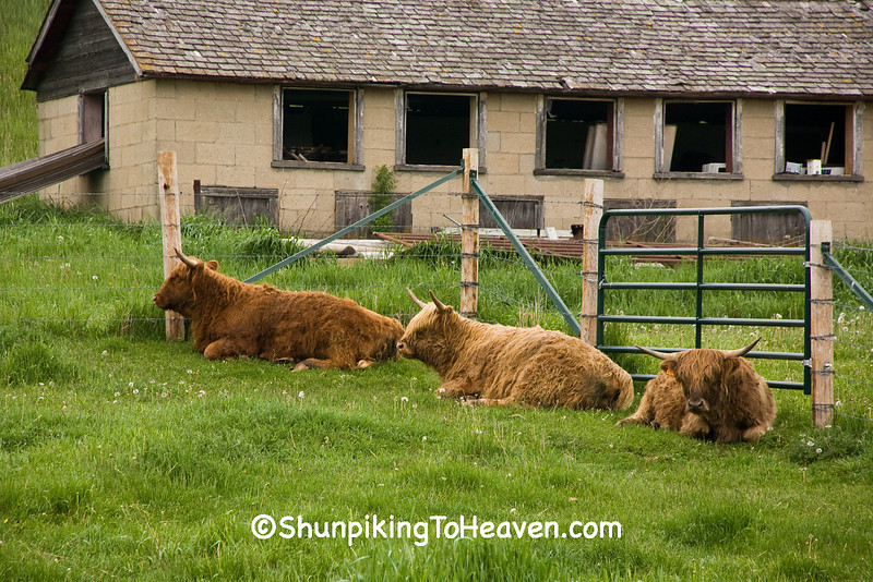 Highland Cattle, Iowa County, Wisconsin