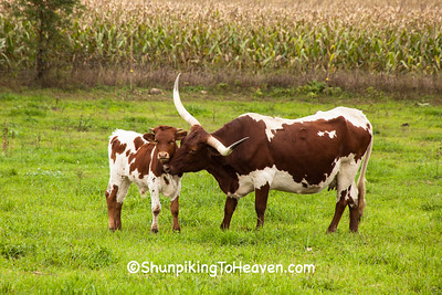 Texas Longhorn Cattle, Columbia County, Wisconsin