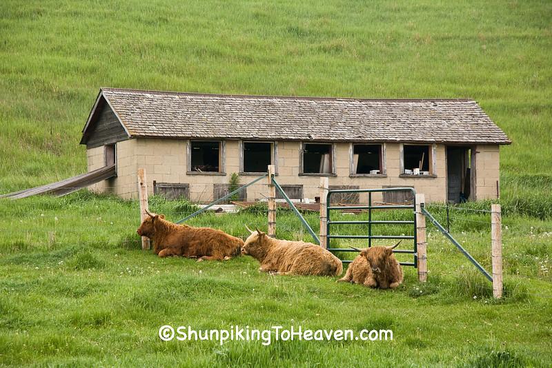 Highland Cattle, Iowa County, Wisconsin