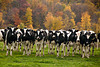 Holsteins in the Pasture in Autumn, Sauk County, Wisconsin