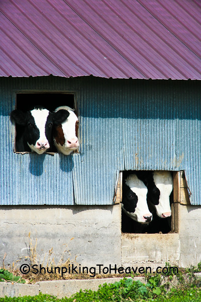 """""""The Laugh-in Cows"""", Sauk County, Wisconsin"""