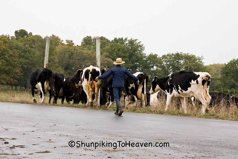 Amish Man Moving Holsteins to Another Pasture, Monroe County, Wisconsin