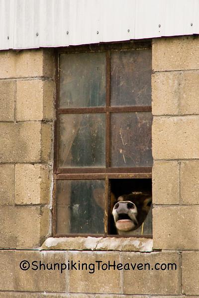 Jersey Cow in Window, Green County, Wisconsin
