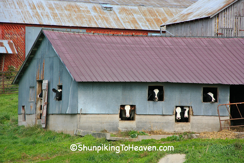 """The Laugh-in Cows"", Sauk County, Wisconsin"