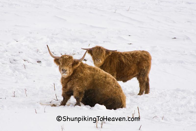 Highland Cattle, Dane County, Wisconsin