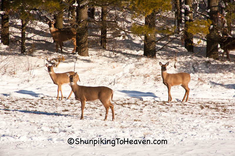 White-tailed Deer on Christmas Day, Sauk County, Wisconsin