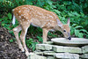 White-tailed Fawn Drinking from Birdbath, Dane County, Wisconsin