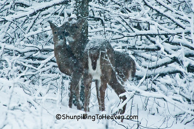 White-tailed Deer in Snowstorm, Dane County, Wisconsin
