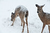 White-tailed Deer in Snow, Dane County, Wisconsin