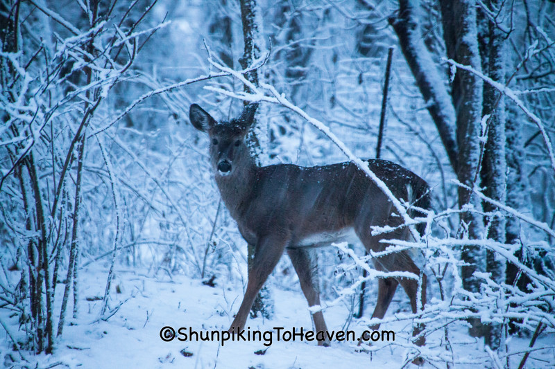 White-tailed Deer, Dane County, Wisconsin