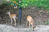 Twin White-tailed Fawns at the Birdfeeder, Dane County, Wisconsin