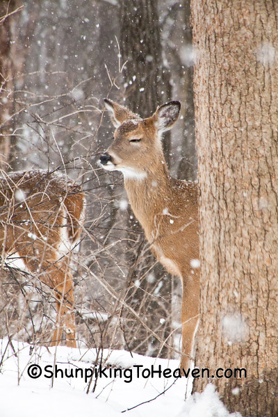 White-Tailed Deer in the Snow, Dane County, Wisconsin