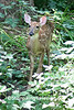 White-tailed Fawn, Dane County, Wisconsin