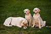 Yellow Labrador Mother and Pups, Casey County