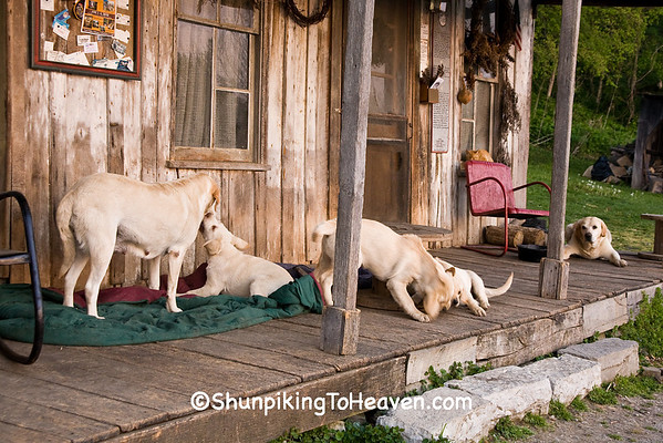 Yellow Lab Family, Penn's Store, Casey County, Kentucky (at the Boyle County Line)