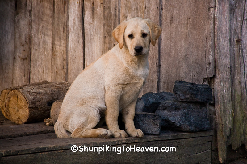 Yellow Lab Puppy at Penn's Store, Casey County, Kentucky