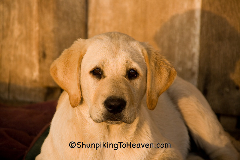 Yellow Lab Puppy, Penn's Store, Casey County, Kentucky