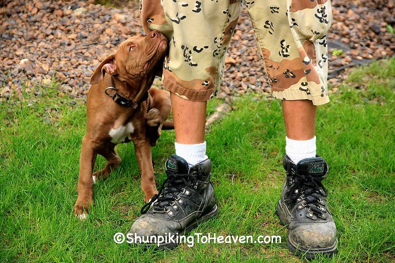 """Man's Best Friend"", Pit Bull Puppy, Dane County, Wisconsin"