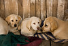 Yellow Labrador Puppies, Penn's Store, Casey County, Kentucky