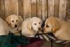 Yellow Labrador Puppies, Penn's Store, Casey County, Kentucky
