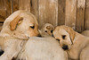 Yellow Labradors, Penn's Store, Casey County, Kentucky