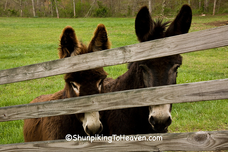 Two Donkeys Watching Through the Fence, Scioto  County, Ohio