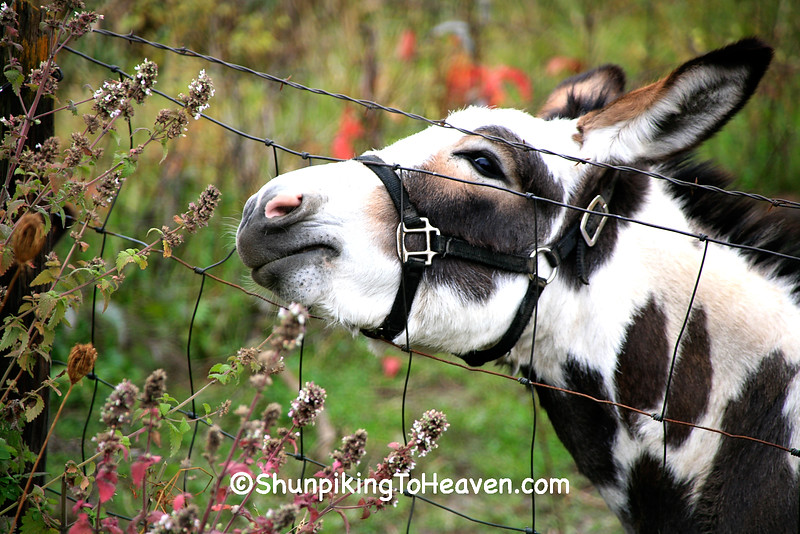 Spotted Donkey Reaching Through Fence, Richland County, Wisconsin