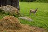 Donkey by Barn, Carter County, Kentucky