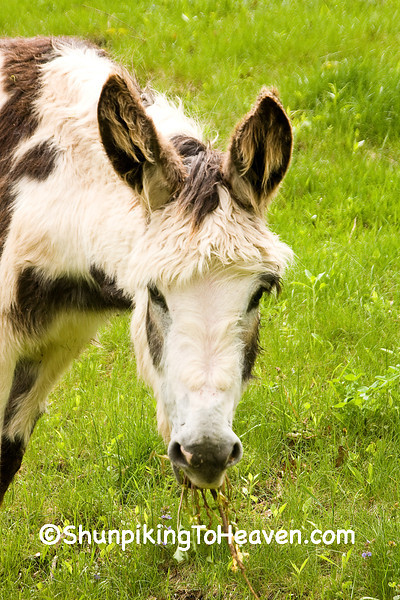 """""""Clover"""", the Spotted Donkey, Iowa County, Wisconsin"""