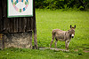 Donkey by Quilt Barn, Carter County, Kentucky