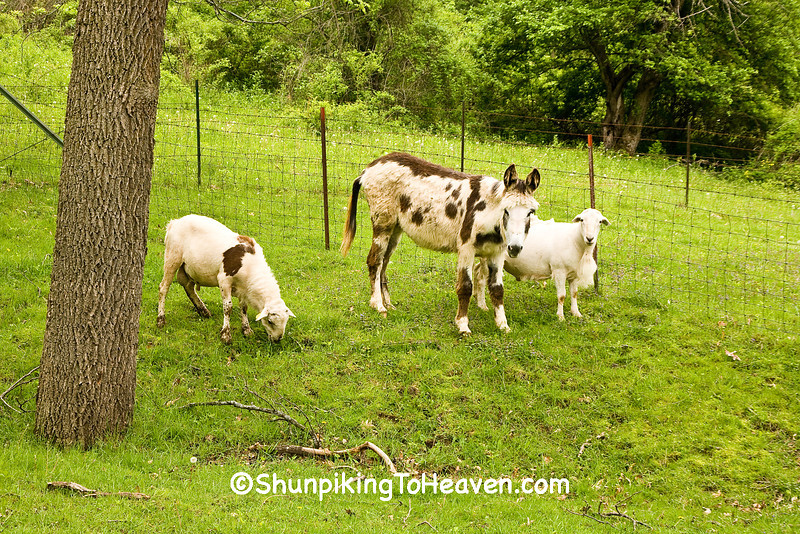 """""""Clover"""", the Spotted Donkey with Sheep Pals, Iowa County, Wisconsin"""