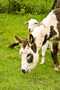 """""""Clover"""", the Spotted Donkey with Sheep Pal, Iowa County, Wisconsin"""
