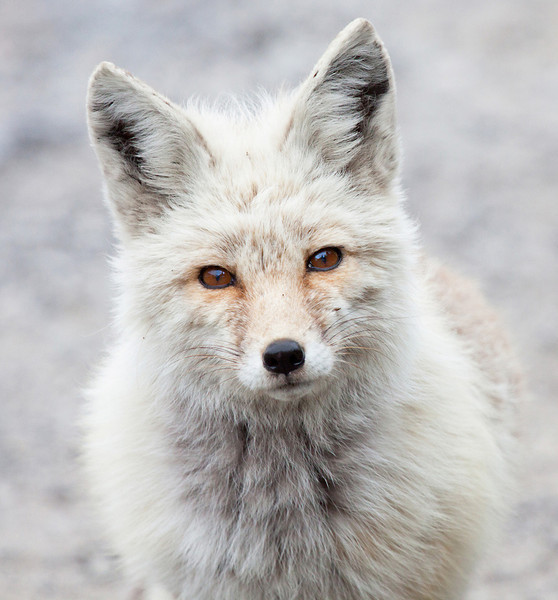 """This is a red fox seen in Mt. Rainier National Park in August of 2011. It was quite light compared to the red fox seen a little further down the road less than a mile away which was still in a dark morph transition.  <div class=""""ss-paypal-button""""><br><form target=""""paypal"""" action=""""https://www.paypal.com/cgi-bin/webscr"""" method=""""post"""" ><input type=""""hidden"""" name=""""cmd"""" value=""""_cart""""><input type=""""hidden"""" name=""""business"""" value=""""947PXEXBHP9H8""""><input type=""""hidden"""" name=""""lc"""" value=""""US""""><input type=""""hidden"""" name=""""item_name"""" value=""""This is a red fox seen in Mt. Rainier National Park in August of 2011. It was quite light compared to the red fox seen a little further down the road less than a mile away which was still in a dark morph transition.""""><input type=""""hidden"""" name=""""item_number"""" value=""""http:&#x2F;&#x2F;www.werthwildphotography.com&#x2F;Animals&#x2F;Mammals&#x2F;Foxes-and-Coyotes&#x2F;i-KfFQ2HB""""><input type=""""hidden"""" name=""""button_subtype"""" value=""""products""""><input type=""""hidden"""" name=""""no_note"""" value=""""0""""><input type=""""hidden"""" name=""""cn"""" value=""""Add special instructions to the seller:""""><input type=""""hidden"""" name=""""no_shipping"""" value=""""2""""><input type=""""hidden"""" name=""""currency_code"""" value=""""USD""""><input type=""""hidden"""" name=""""shipping"""" value=""""4.00""""><input type=""""hidden"""" name=""""add"""" value=""""1""""><input type=""""hidden"""" name=""""bn"""" value=""""PP-ShopCartBF:btn_cart_LG.gif:NonHosted""""><table class=""""printSize""""><tr><td><input type=""""hidden"""" name=""""on0"""" value=""""Print size"""">Print size</td></tr><tr><td><select name=""""os0""""> <option value=""""5 x 7"""">5 x 7 $14.00 USD</option> <option value=""""8 x 10"""">8 x 10 $20.00 USD</option> <option value=""""8 x 12"""">8 x 12 $20.00 USD</option> <option value=""""11 x 14"""">11 x 14 $28.00 USD</option> <option value=""""12 x 18"""">12 x 18 $35.00 USD</option> <option value=""""16 x 20"""">16 x 20 $50.00 USD</option></select> </td></tr></table><input type=""""hidden"""" name=""""currency_code"""" value=""""USD""""><input type=""""hidden"""" name=""""option_select0"""" value=""""5 x 7""""><input type=""""hidden"""" name=""""option_amount0"""" value=""""14.00""""><input """