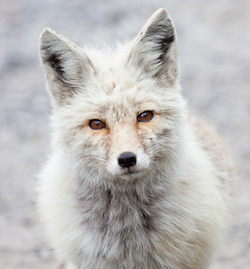 This is a red fox seen in Mt. Rainier National Park in August of 2011. It was quite light compared to the red fox seen a little further down the road less than a mile away which was still in a dark morph transition.  Print size 5 x 7 $14.00 USD 8 x 10 $20.00 USD 8 x 12 $20.00 USD 11 x 14 $28.00 USD 12 x 18 $35.00 USD 16 x 20 $50.00 USD