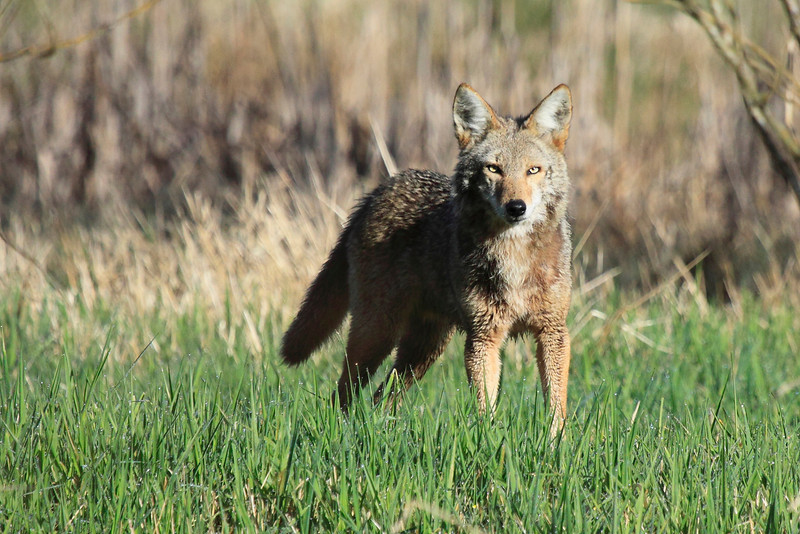"""A coyotes intent stare in morning light, seen at Ridgefield National Wildlife Refuge  <div class=""""ss-paypal-button""""><br><form target=""""paypal"""" action=""""https://www.paypal.com/cgi-bin/webscr"""" method=""""post"""" ><input type=""""hidden"""" name=""""cmd"""" value=""""_cart""""><input type=""""hidden"""" name=""""business"""" value=""""947PXEXBHP9H8""""><input type=""""hidden"""" name=""""lc"""" value=""""US""""><input type=""""hidden"""" name=""""item_name"""" value=""""A coyotes intent stare in morning light, seen at Ridgefield National Wildlife Refuge""""><input type=""""hidden"""" name=""""item_number"""" value=""""http:&#x2F;&#x2F;www.werthwildphotography.com&#x2F;Animals&#x2F;Mammals&#x2F;Foxes-and-Coyotes&#x2F;i-NZgCgjp""""><input type=""""hidden"""" name=""""button_subtype"""" value=""""products""""><input type=""""hidden"""" name=""""no_note"""" value=""""0""""><input type=""""hidden"""" name=""""cn"""" value=""""Add special instructions to the seller:""""><input type=""""hidden"""" name=""""no_shipping"""" value=""""2""""><input type=""""hidden"""" name=""""currency_code"""" value=""""USD""""><input type=""""hidden"""" name=""""shipping"""" value=""""4.00""""><input type=""""hidden"""" name=""""add"""" value=""""1""""><input type=""""hidden"""" name=""""bn"""" value=""""PP-ShopCartBF:btn_cart_LG.gif:NonHosted""""><table class=""""printSize""""><tr><td><input type=""""hidden"""" name=""""on0"""" value=""""Print size"""">Print size</td></tr><tr><td><select name=""""os0""""> <option value=""""5 x 7"""">5 x 7 $14.00 USD</option> <option value=""""8 x 10"""">8 x 10 $20.00 USD</option> <option value=""""8 x 12"""">8 x 12 $20.00 USD</option> <option value=""""11 x 14"""">11 x 14 $28.00 USD</option> <option value=""""12 x 18"""">12 x 18 $35.00 USD</option> <option value=""""16 x 20"""">16 x 20 $50.00 USD</option></select> </td></tr></table><input type=""""hidden"""" name=""""currency_code"""" value=""""USD""""><input type=""""hidden"""" name=""""option_select0"""" value=""""5 x 7""""><input type=""""hidden"""" name=""""option_amount0"""" value=""""14.00""""><input type=""""hidden"""" name=""""option_select1"""" value=""""8 x 10""""><input type=""""hidden"""" name=""""option_amount1"""" value=""""20.00""""><input type=""""hidden"""" name=""""option_select2"""" value=""""8 x 12""""><input type=""""hidden"""" name=""""option_amount2"""" value=""""20.00""""><input type=""""hidden"""" name=""""option_selec"""